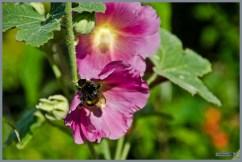 tuin_hvh_vlinderstruik_vlinders_hommels__162 (Kopie)