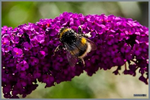 tuin_hvh_vlinderstruik_vlinders_hommels__181 (Kopie)
