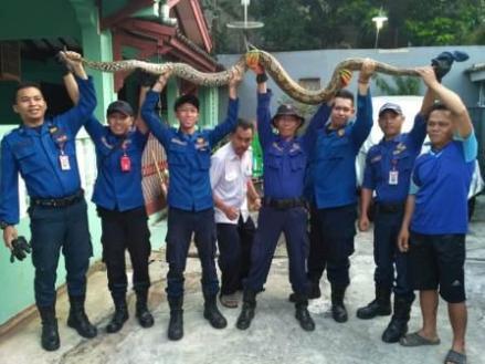 Tim Damkar dan Penyelamatan berhasil menangkap ular sanca batik di BSI.