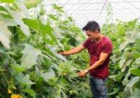 Buscan mejorar cultivo de melón sin uso de químicos