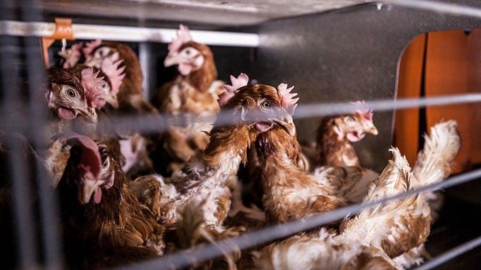 Categorías de los huevos 2 y 3 gallinas criadas en jaulas