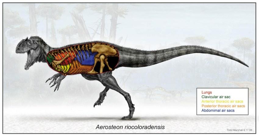 aerosteon1-large