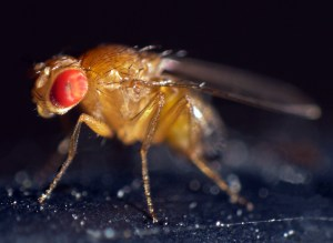 An introduction to fruit flies | The Berg Lab