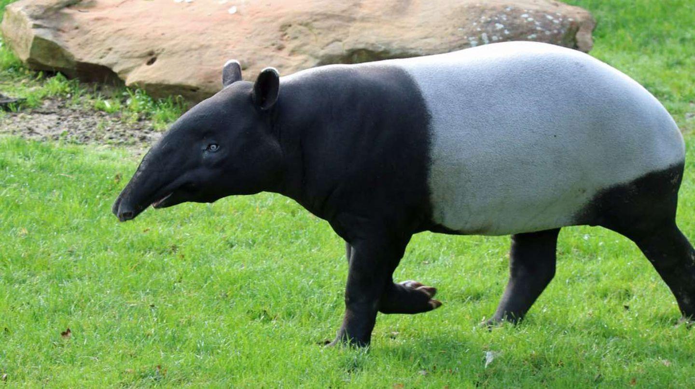Animales más exóticos del mundo: el tapir