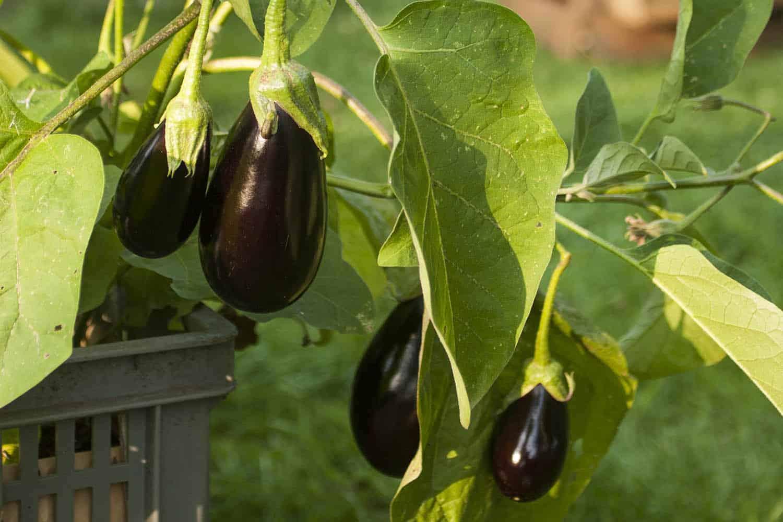 Auberginen im topf anbauen