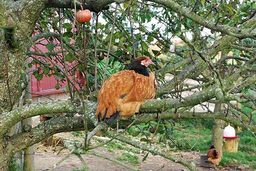 Huhn im Baum