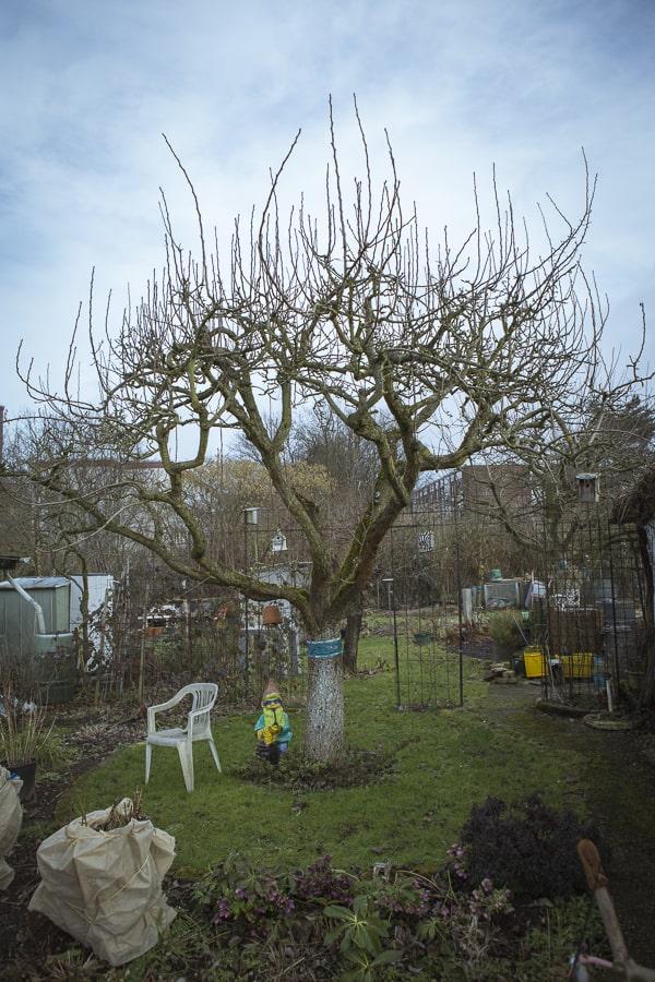Alter Birnbaum vorm Schnitt