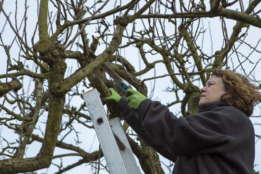 Birnbaumschnitt
