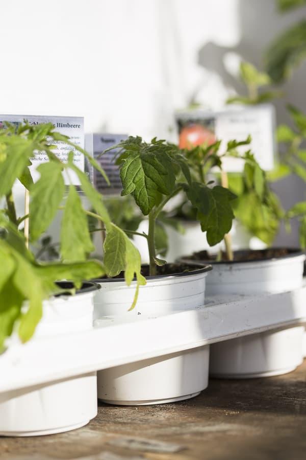 Tomatenpflanzen sortenecht