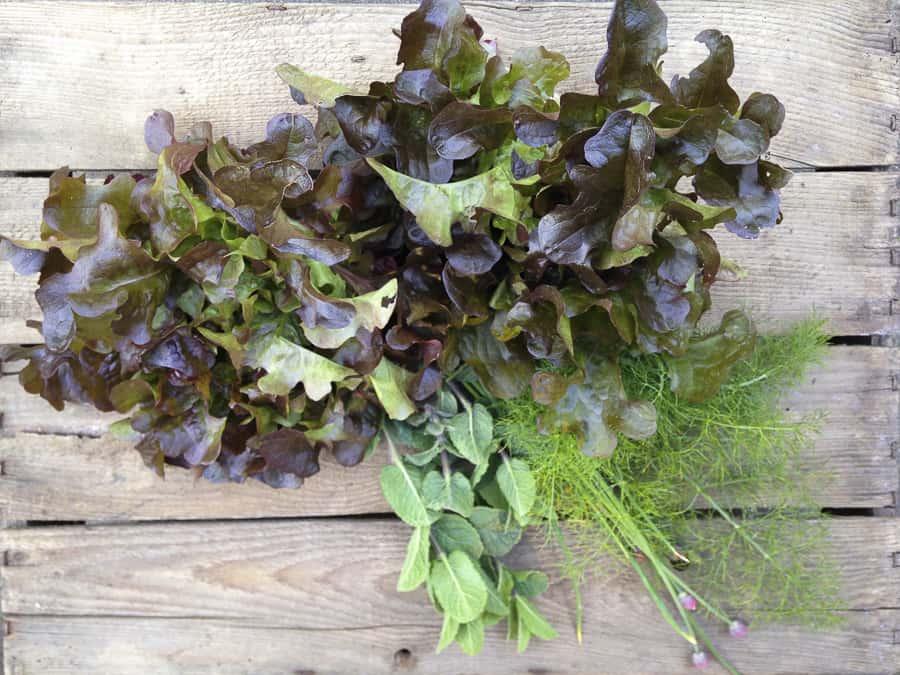 Ernte aus unserem Garten Salat und Kräuter
