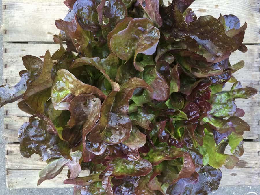 Gartenernte Salat