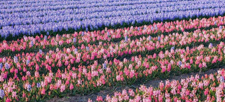 hyazinten tulpenparadies holland
