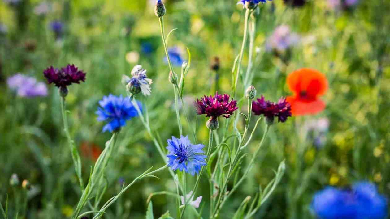 wildblumenwiese anlegen und pflegen