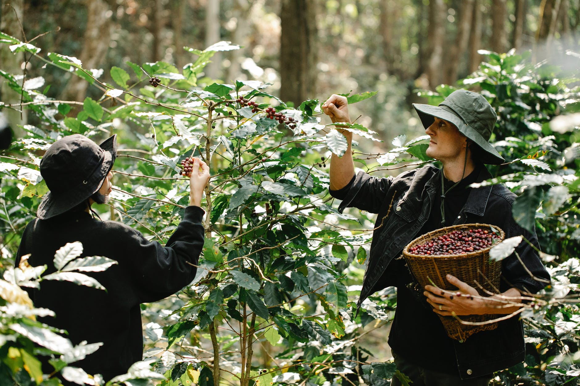 young diverse gardeners harvesting coffee beans in lush green garden