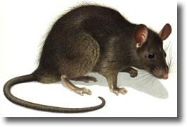 rat-noir-rattus-rattus