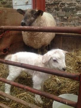 Lambing 2