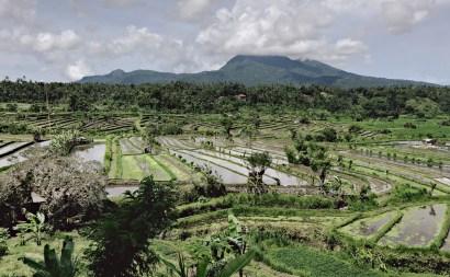 Ricefields Bali