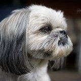 Closeup of the Face of a Shih Tzu Dog