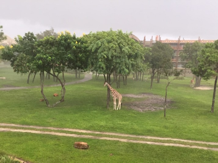 This giraffe looked so sad trying to stay out of the rain