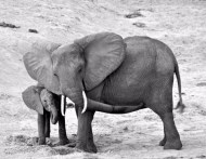 """""""#tbt Elephants show us that by supporting and loving one another, our own ability to thrive in the physical world is enhanced. We learn from them to pass on the gift of nurturing we received in our early years, be it from our biological family or others who helped us grow into who we are now. We must honour the elders of our community and nurture the young. Like the elephant, we need to help ease the transitions of those who are going into adulthood with gentle love, wisdom, patience and compassion. By having open hearts and minds, we can create strong relationships within the community, therefore building a strong community. 📸@dhoughphotography #dhoughphotography #gotAnItch #africa"""" Courtesy derekhough IG"""