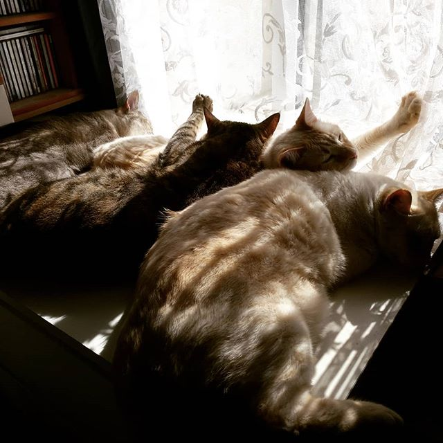 Four cats sunbathing #autohash #Torrevieja #Spain #ComunidadValenciana #mammal #cat #ilovemycat #catsagram #catstagram #kitten #people #furniture #pet #animal #room #family #sleep #portrait #food #foodporn #foodie #foodpicoftheday #foodpic #foodgasm #instafood #yummie #home #interaction - from Instagram