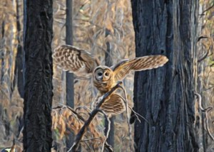 Spotted Owl in a severely burned forest.