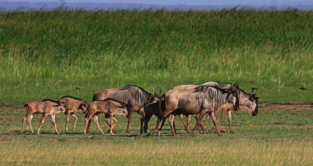 Eastern White-bearded Wildebeest migrate with their calves in northern Tanzania from the Gelai Plains calving grounds to Tarangire National Park. A new study described in detail for the first time this endangered long-distance wildebeest migration in the Tarangire ecosystem of northern Tanzania. Courtesy of Wild Nature Institute