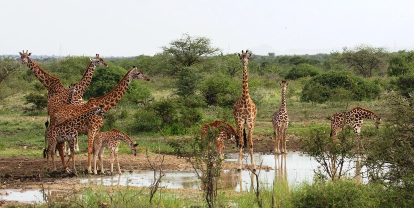 A group of giraffes