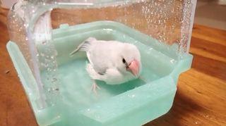 文鳥 水浴び