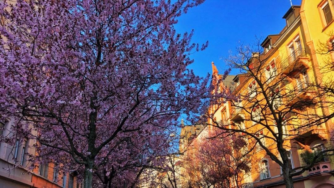 Kirschblüte in Zürich Wiedikon, Frühling 2019