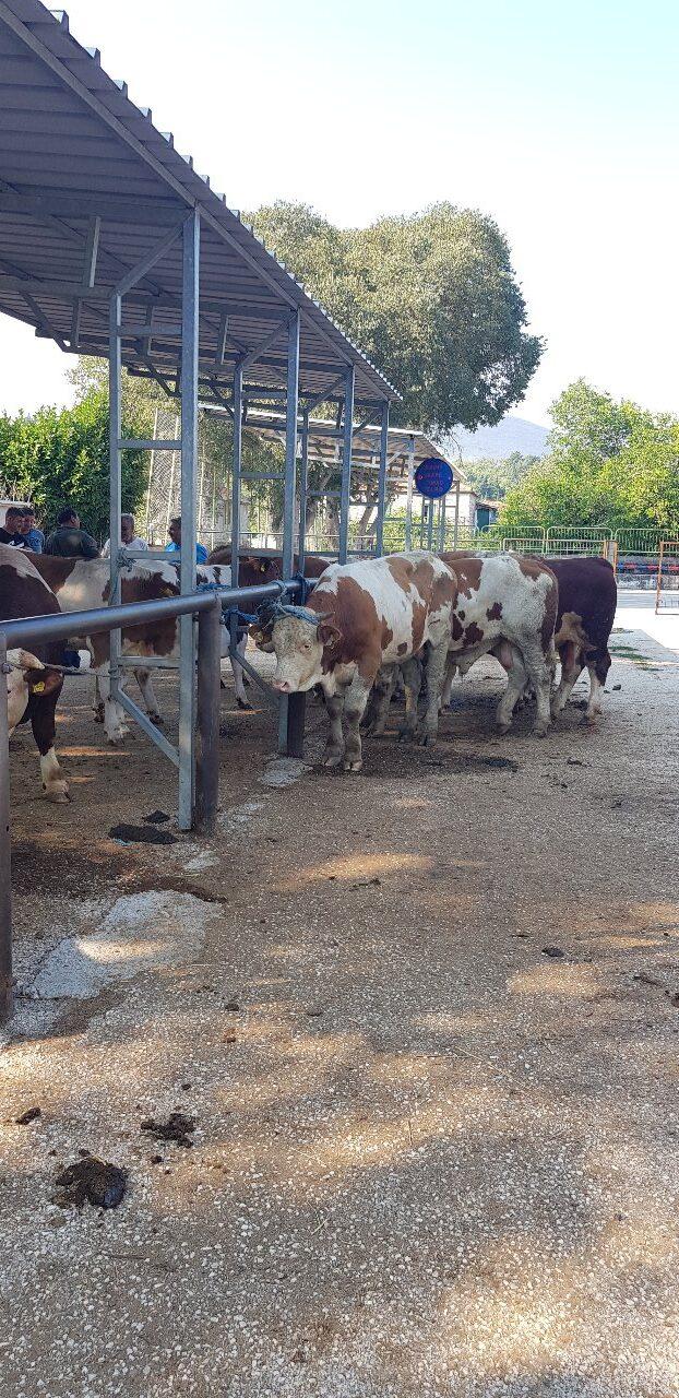 Viehmarkt in Zadvarje