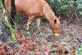 Pony eating holly 1