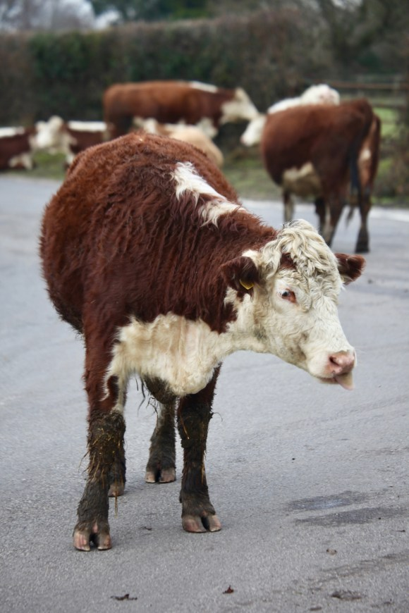 Cow on road 2