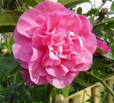 Raindrops on Camellia 1