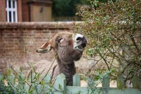 Donkey in garden 7