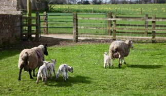 Ewes and lambs 2