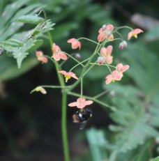 Bee and epimedium 2