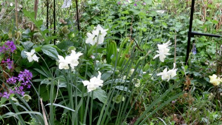 Daffodils, hellebores and honesty