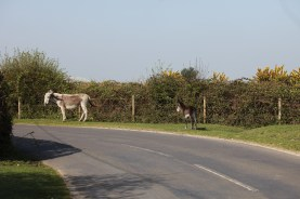 Donkey and foal 4