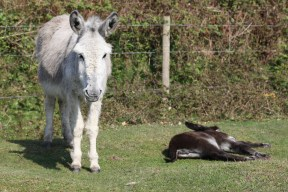 Donkey and foal 8
