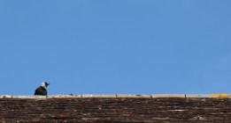 Jackdaw on rooftop 4