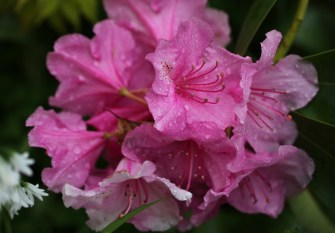 Raindrops on rhododendron 1