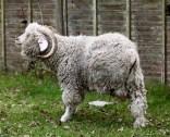 Horned sheep 2