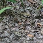Rattle Snake - Texas