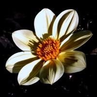 Large White  Daisy.