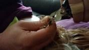 Yorkshire Terrier - Krallen schneiden