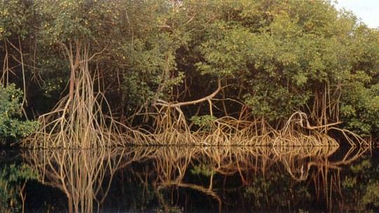 Brasil cria maior faixa de proteção a manguezais do mundo, com 322 mil hectares