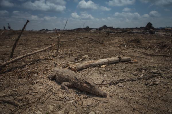 Belo Monte queima madeira legal e aquece mercado ilegal