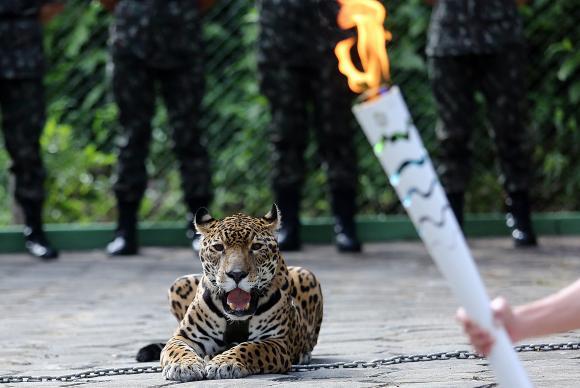 Juma, a onça-pintada que participou da cerimônia de revezamento da Tocha Olímpica em Manaus, foi abatida no Centro de Instrução de Guerra na SelvaIvo Lima/Ministério do Esporte