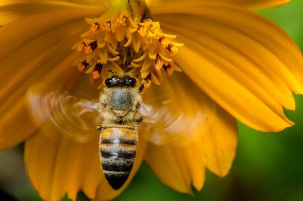 Estudo relaciona fungicida com declínio de abelhas